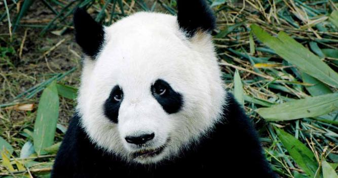 close-up-of-panda-Chengdu-China