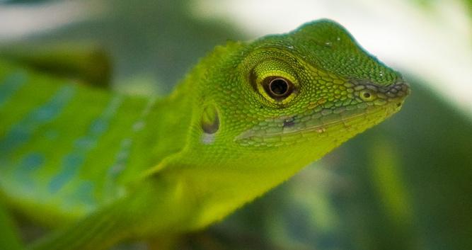 Lizard, Sabah, Borneo