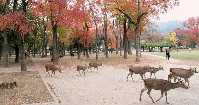 Deer in Nara crossing road - Luxury Japan Travel and Tours