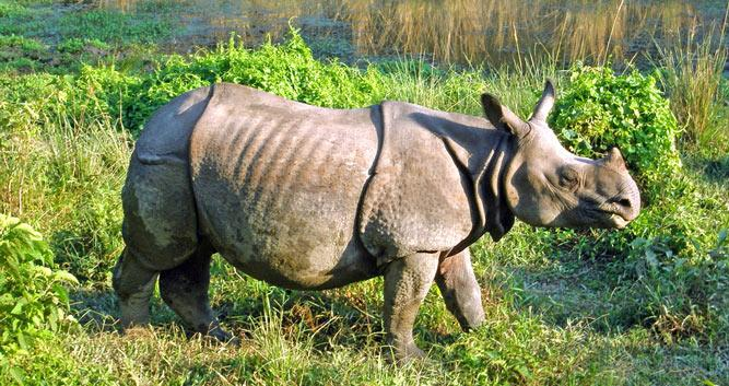Indian_one_horned_rhinoceros_at_Royal_Chitwan_national_park-Luxury-Nepal-Holidays