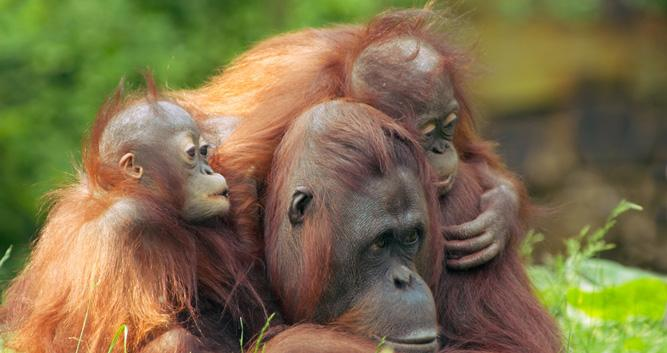 Orangutans, Sepilok, Sabah, Borneo