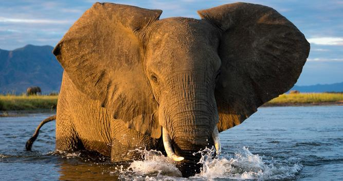 elephant - africa