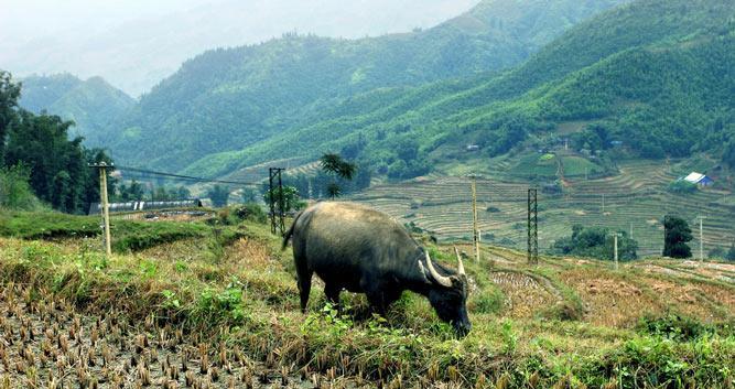 Buffalo roaming the Cat Cat Valley, Sapa, Vietnam