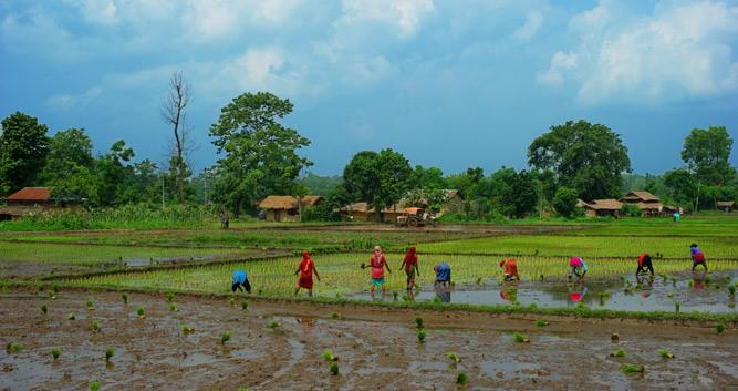 Women_working_in_the_green_rice_fields_landscape_in_Nepal_Chitwan-Luxury-Nepal-Holidays