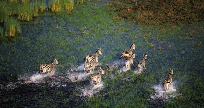Okavango Zebra