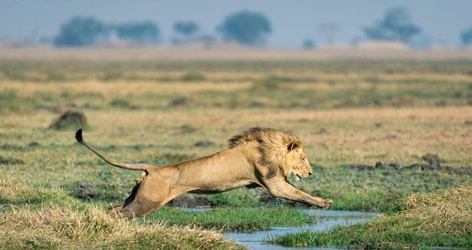 Lion_Zambia_Kafue_Shumba_Camp
