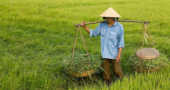 Worker collecting rice, Vietnam