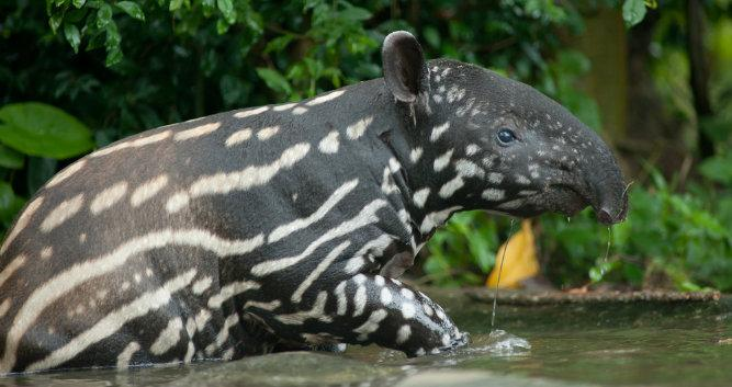 A young tapir in the Pantanal, Brazil