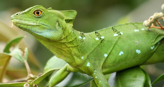 Female Green Basilisk, Tortuguero, Costa Rica