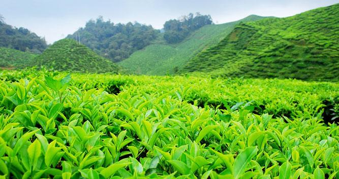 Tea plants ready for picking, Cameron Highlands, Malaysia