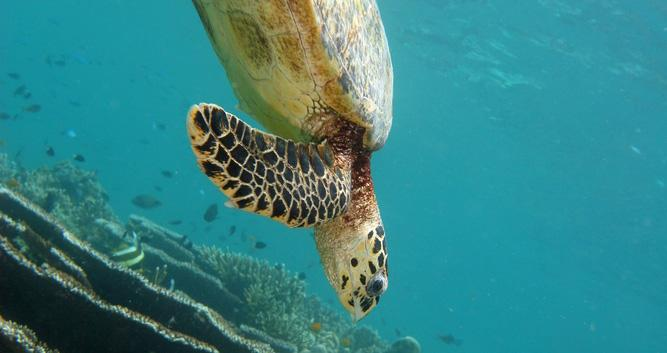 Large turtle, Sabah, Borneo