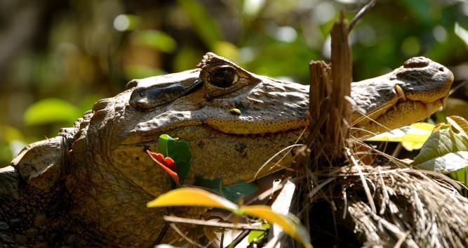 A caiman at rest in Tortuguero, Costa Rica