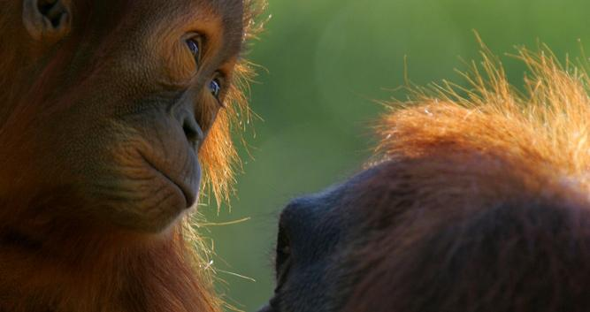 MOther and baby orangutan, Sabah, Borneo