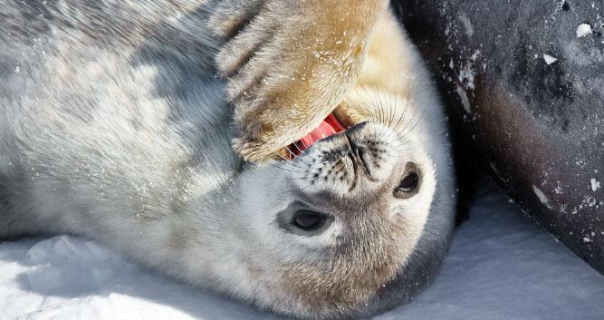 baby Seal, Antarctica