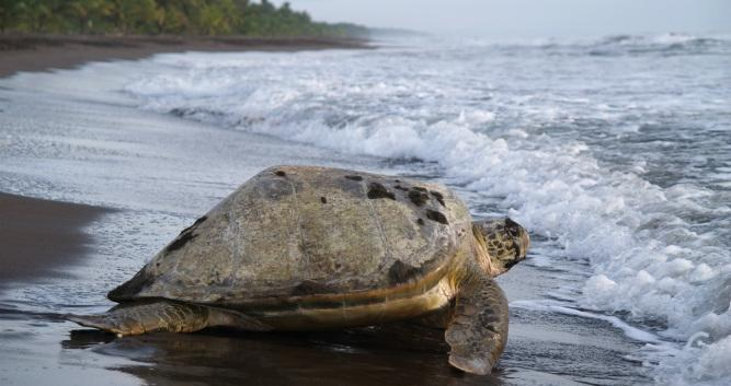 One of Tortuguero's four species of turtles, Costa Rica