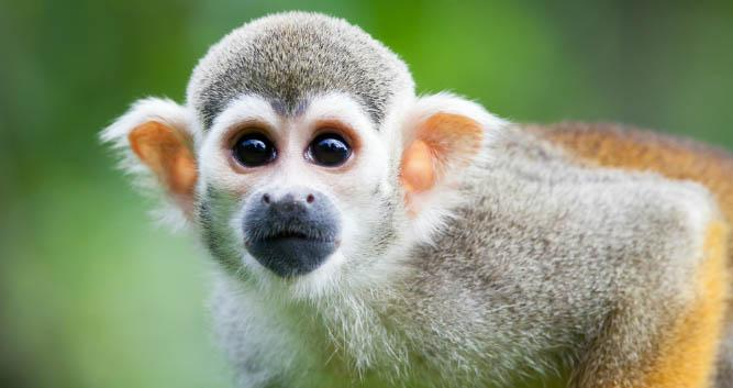 Squirrel Monkey, Amazon Rainforest, Brazil