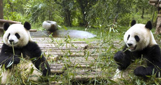 Image of Pandas, Chengdu, China - Luxury China Travel