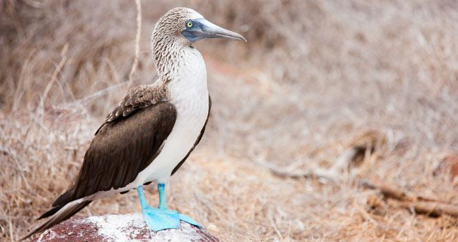 Blue Footed Boobie, Galapagos Islands, Ecuador