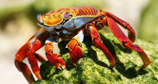 Red and orange crab,, Galapagos Islands, Ecuador