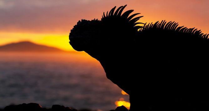 Silhouette of Iguana, , Galapagos Islands, Ecuador