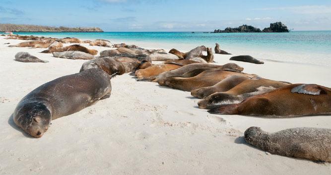 Numerous sleeping seals on beach, , Galapagos Islands, Ecuador