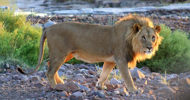 Lion_Damaraland_Namibia