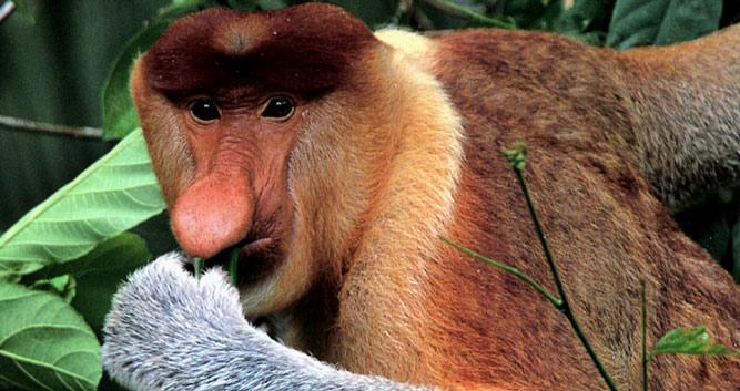 Probiscis Monkey, Kinabatangan River, Sabah, Borneo