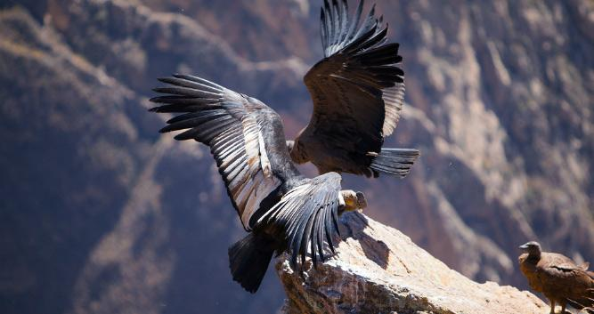 Condor, Colca Canyon, Peru, South America