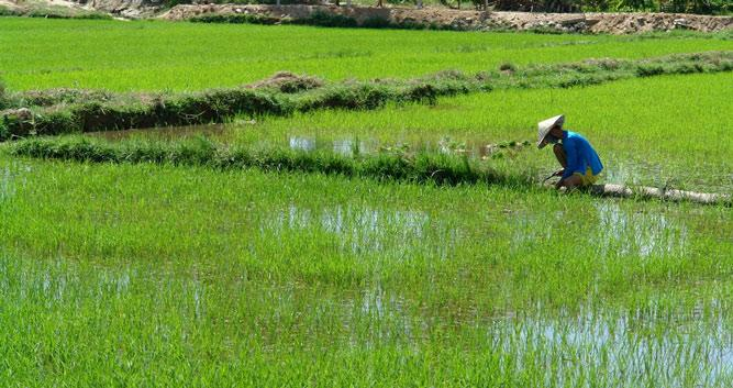 Working in the paddy fields, Vietnam