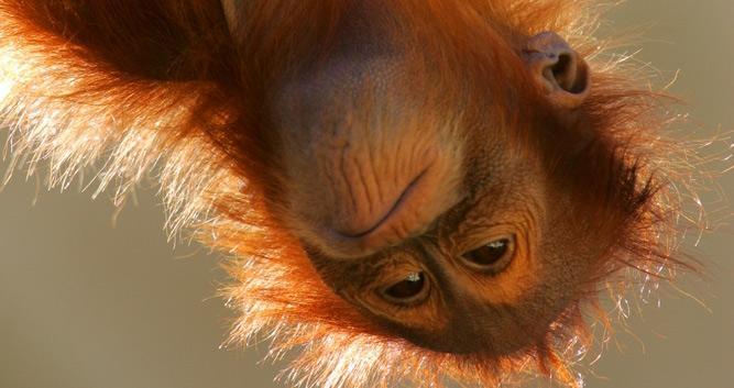 infant orangutan, Sabah, Borneo